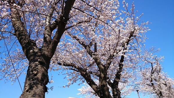 きれいな桜をみながらお考えください