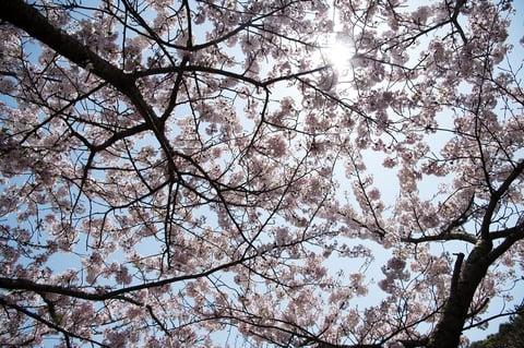 桜をパターン構図で撮影した例